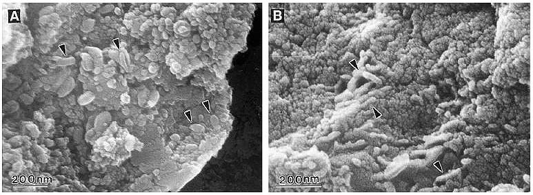 ALH84001, altri presunti fossili di batteri