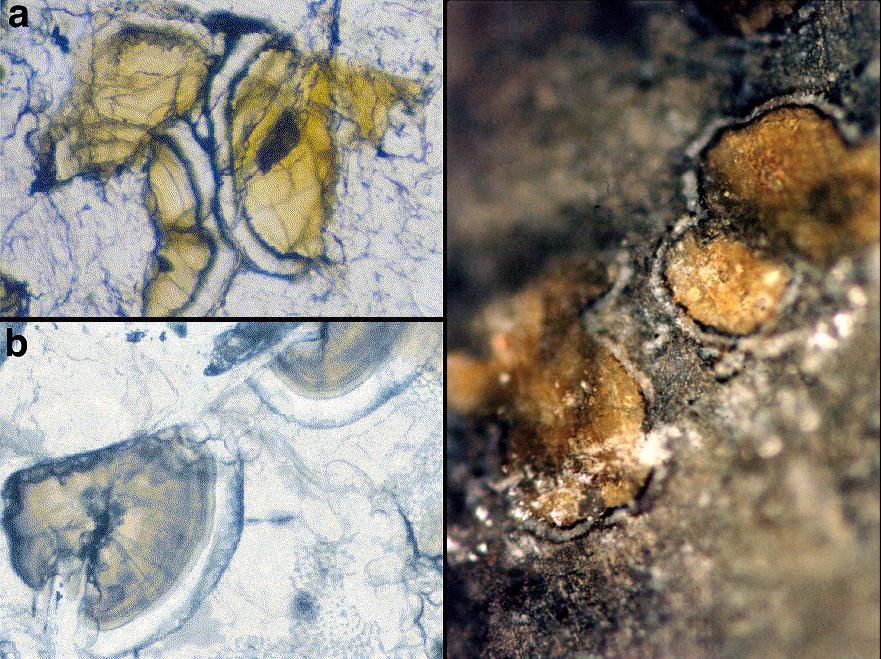 I carbonati ritrovati all'interno di ALH84001