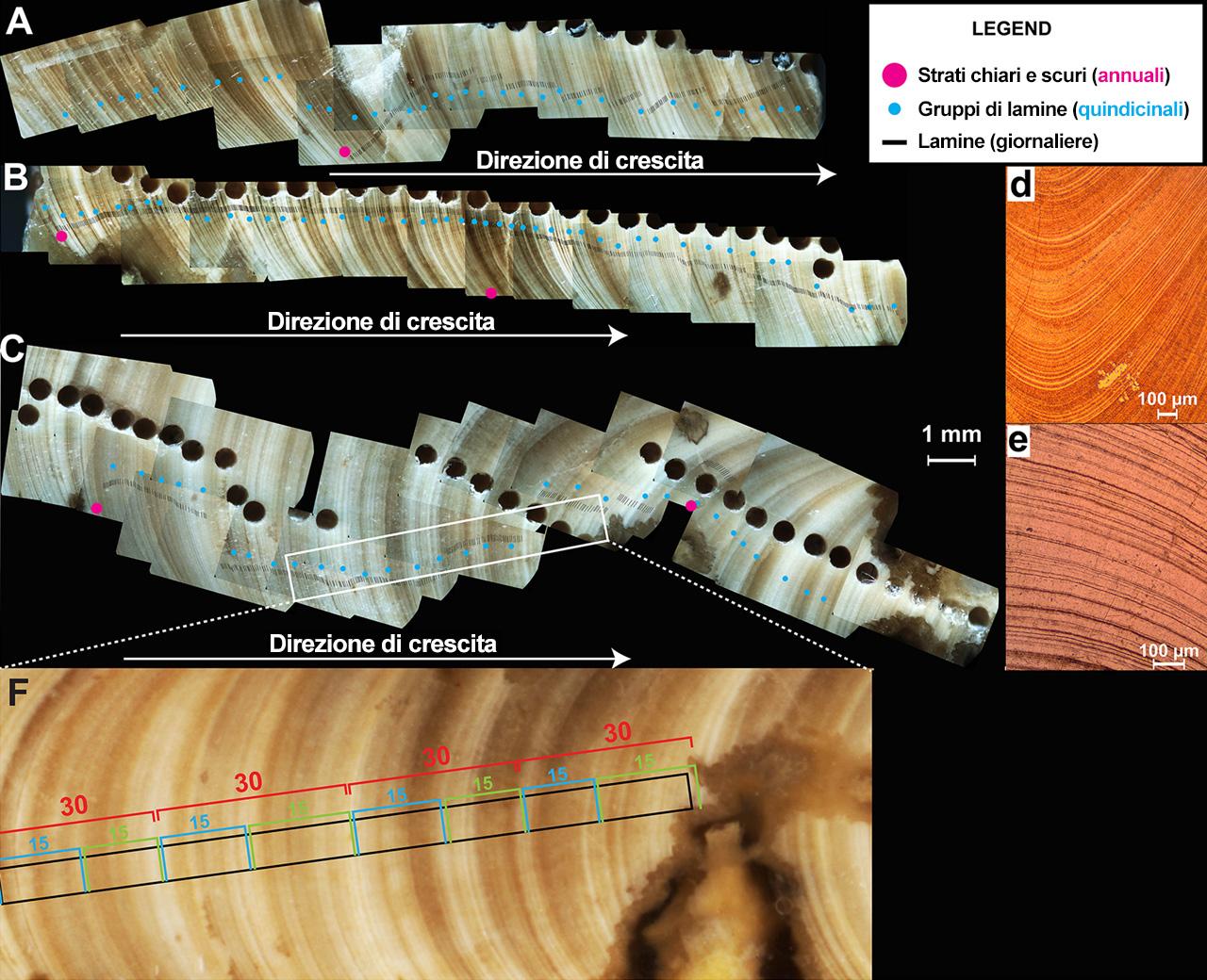 Gli anelli di accrescimento nel guscio della rudista Terroites sanchezi